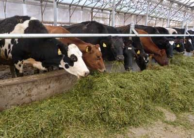 Barley Peas Oats Haylage mixed herd
