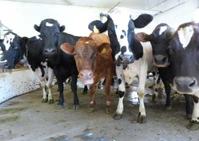 Cows in holding area to be milked