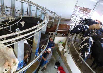 Milking herd enter stall rotary
